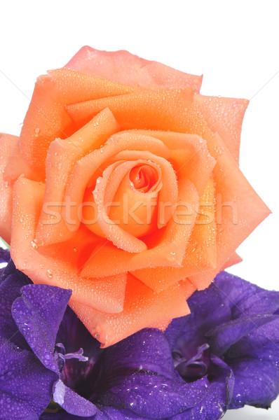 orange rose Stock photo © nito
