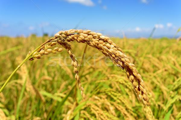 Mező delta Spanyolország közelkép rizs növény Stock fotó © nito