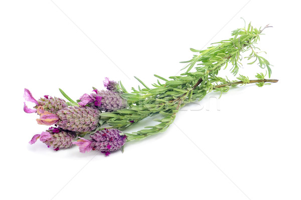 Lavandula stoechas, Spanish lavender Stock photo © nito
