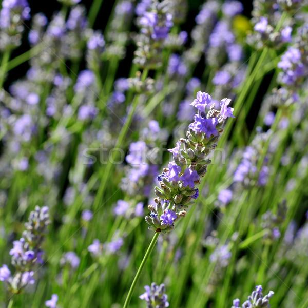 Levendula közelkép virágok nyár orvosi tájkép Stock fotó © nito