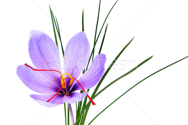 saffron flower Stock photo © nito