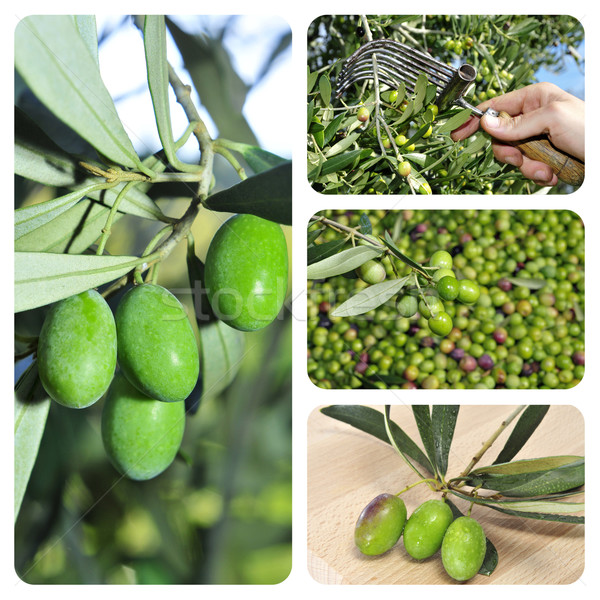 olive harvesting collage Stock photo © nito
