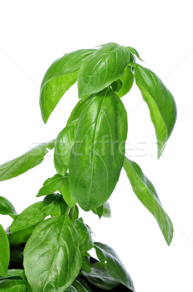 basil, Ocimum basilicum Stock photo © nito