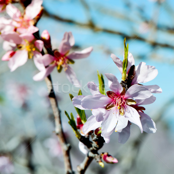 миндаль дерево полный цвести филиала Сток-фото © nito