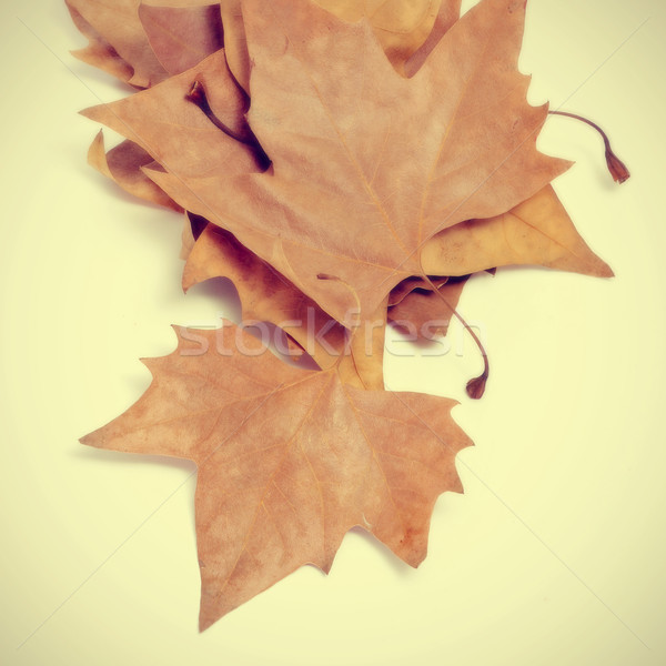 autumn leaves Stock photo © nito