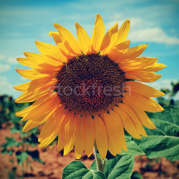 sunflower in a crop, with a filter effect Stock photo © nito