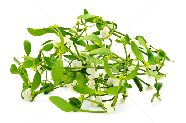 common mistletoe Stock photo © nito