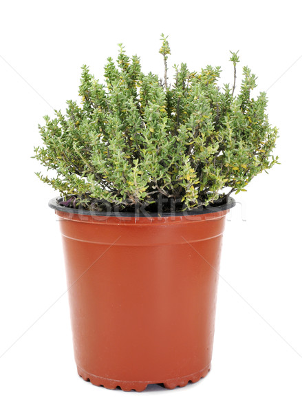 common thyme Stock photo © nito