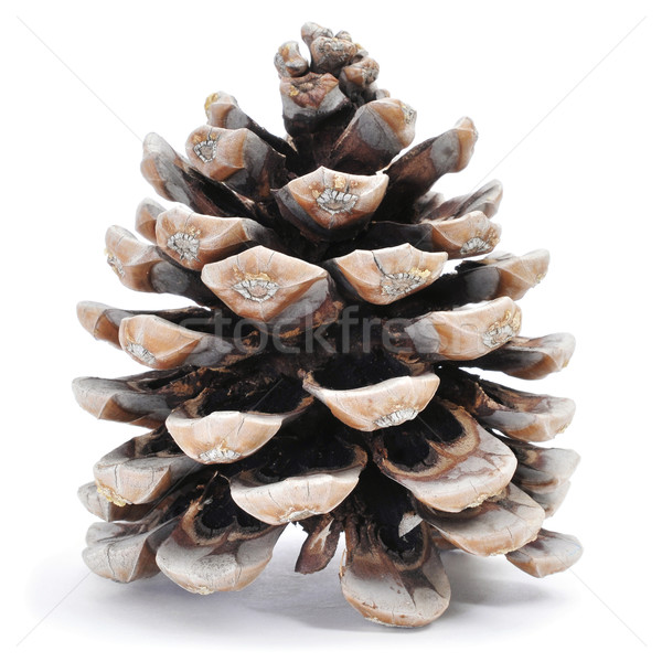 pine cone Stock photo © nito