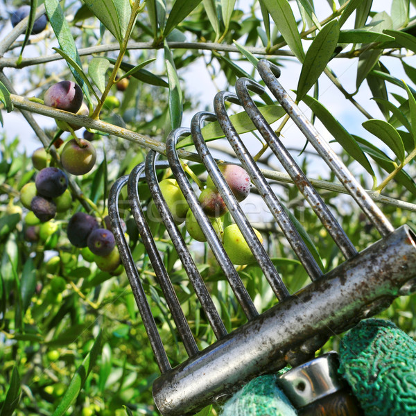 harvesting arbequina olives in an olive grove in Catalonia, Spai Stock photo © nito