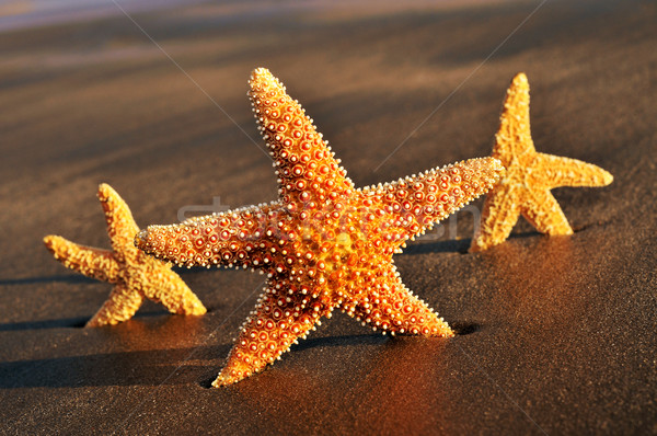 starfishes on the sand of a beach Stock photo © nito
