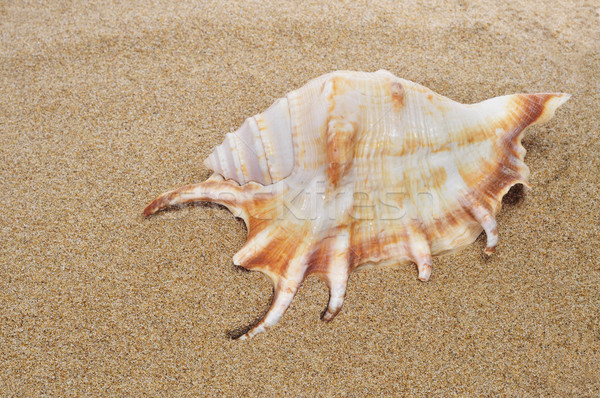 conch on the sand Stock photo © nito