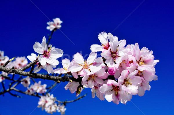 almond blossoms Stock photo © nito