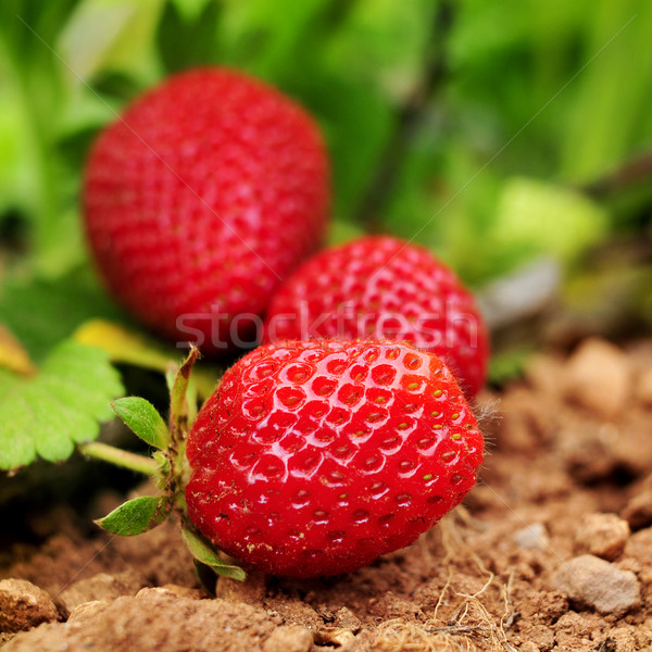 ripe strawberries in the plant Stock photo © nito