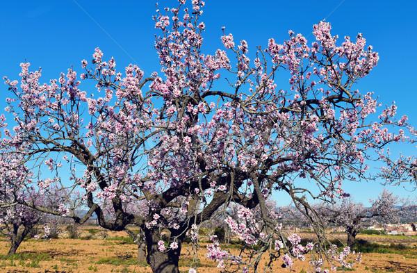 Mandorla alberi completo fiorire primo piano albero Foto d'archivio © nito