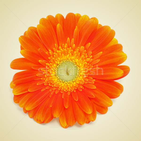 gerbera daisy Stock photo © nito