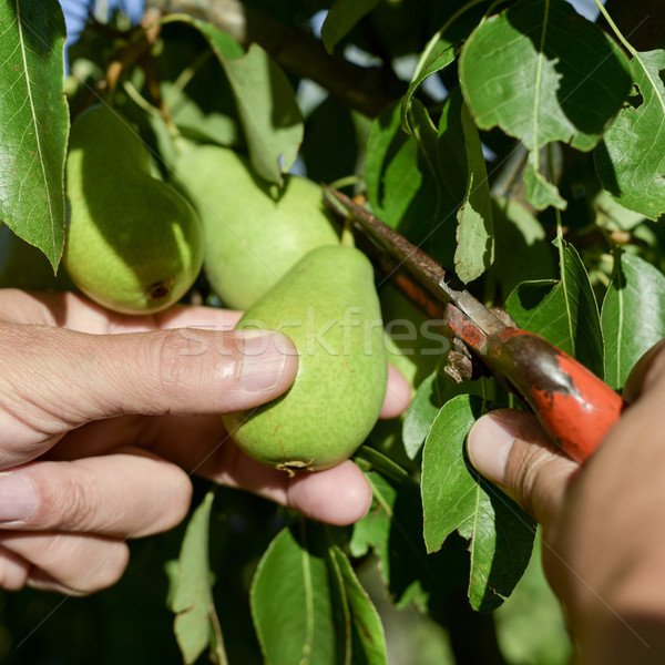 young man picking a pear from the tree Stock photo © nito