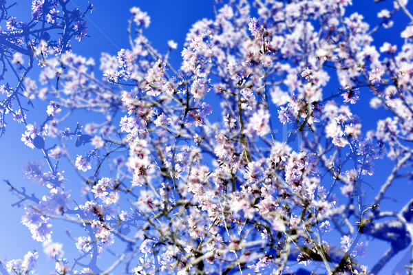 multiple exposure of almond trees in full bloom Stock photo © nito