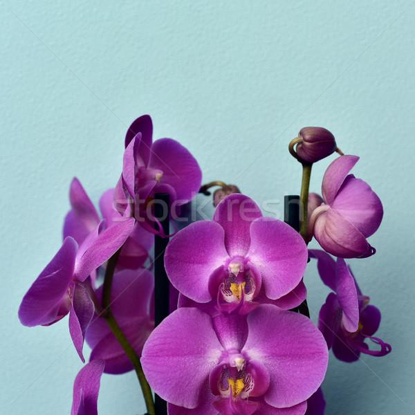 pink Phalaenopsis orchids Stock photo © nito