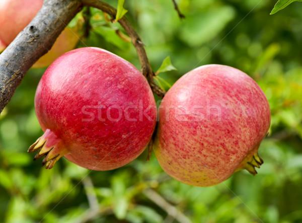 гранат плодов подвесной дерево зрелый Сток-фото © nito