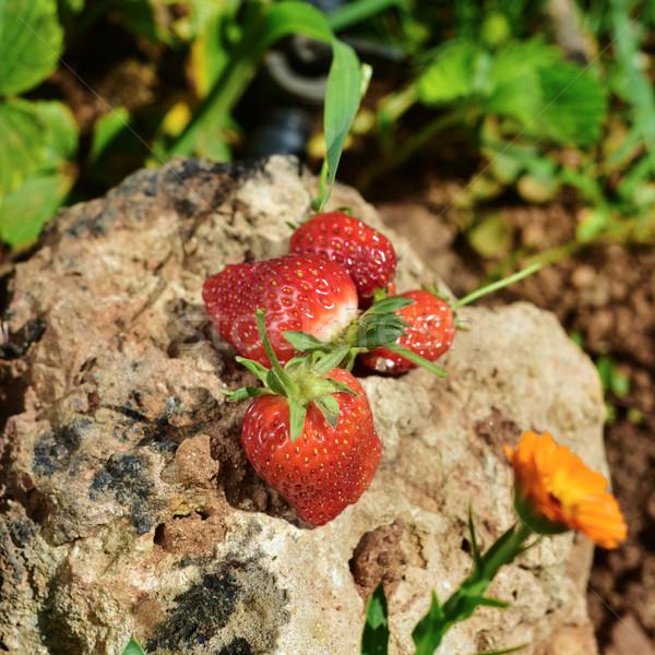 ripe strawberries on a rock Stock photo © nito