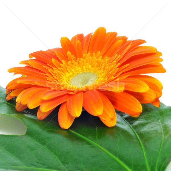 ストックフォト: デイジーチェーン · クローズアップ · オレンジ · 白 · 花 · 愛