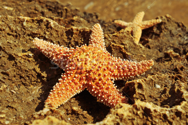 starfishes on a rock Stock photo © nito