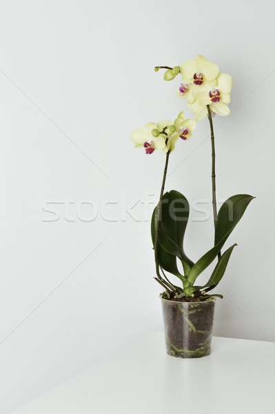yellow phalaenopsis orchid Stock photo © nito
