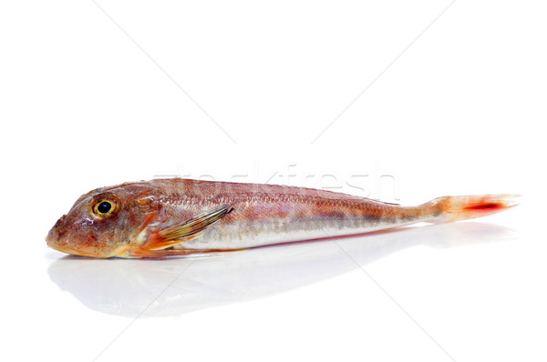 surmullet or striped red mullet Stock photo © nito