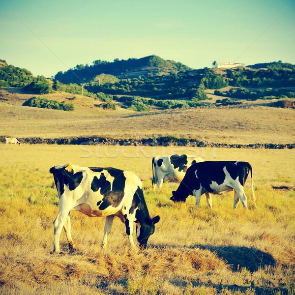 cows grazing Stock photo © nito