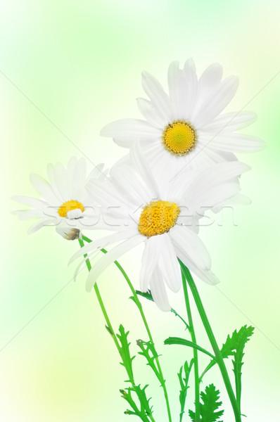oxeye daisies Stock photo © nito