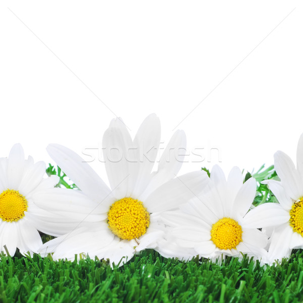 oxeye daisies on the grass Stock photo © nito