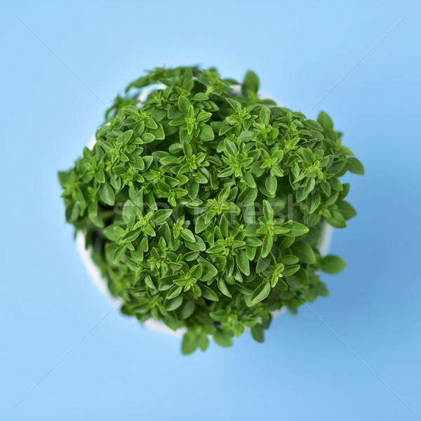 green bush basil plant in a plant pot Stock photo © nito