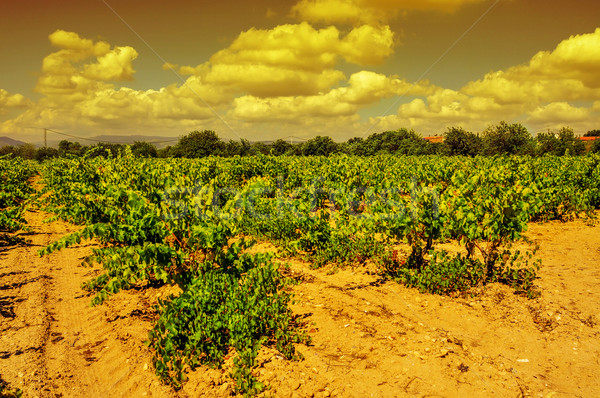 a vineyard in a mediterranean country at sunset Stock photo © nito