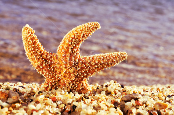 orange seastar in the seashore Stock photo © nito