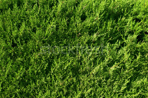 cypress background Stock photo © nito