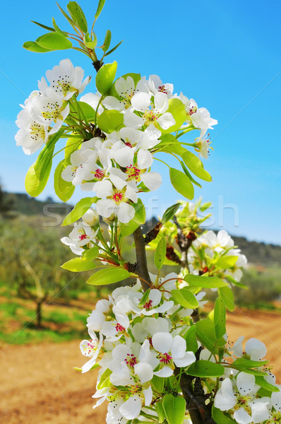 cherry tree in full bloom Stock photo © nito