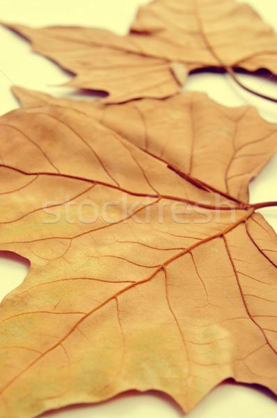 autumn leaves Stock photo © nito