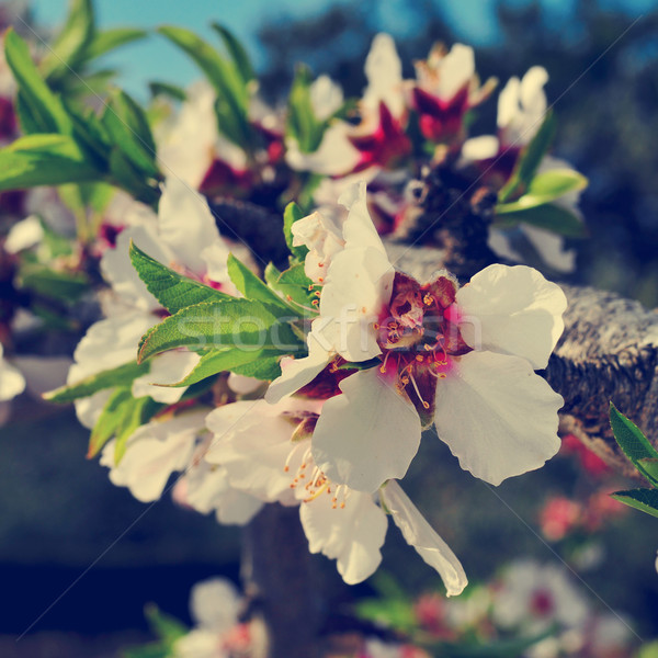 almond tree in full bloom, with a filter effect Stock photo © nito