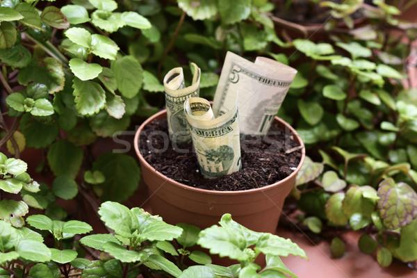 money plant Stock photo © nito