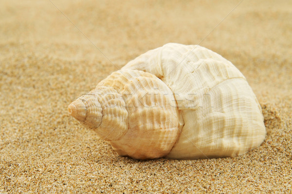 spired conch shell on the sand Stock photo © nito
