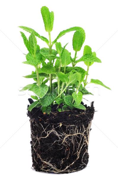 мята завода белый продовольствие лист саду Сток-фото © nito