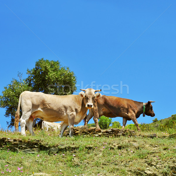 cows grazing in the countryside in Spain Stock photo © nito