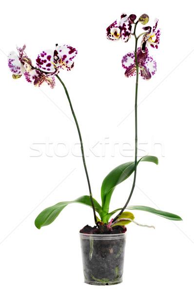 Orchidea bianco fiore colore tropicali Foto d'archivio © nito