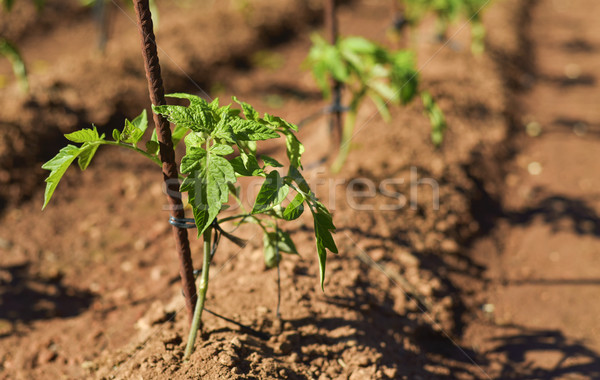 tomato plants in an organic orchard Stock photo © nito