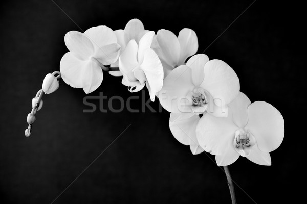 Phalaenopsis aphrodite orchid, in black and white Stock photo © nito