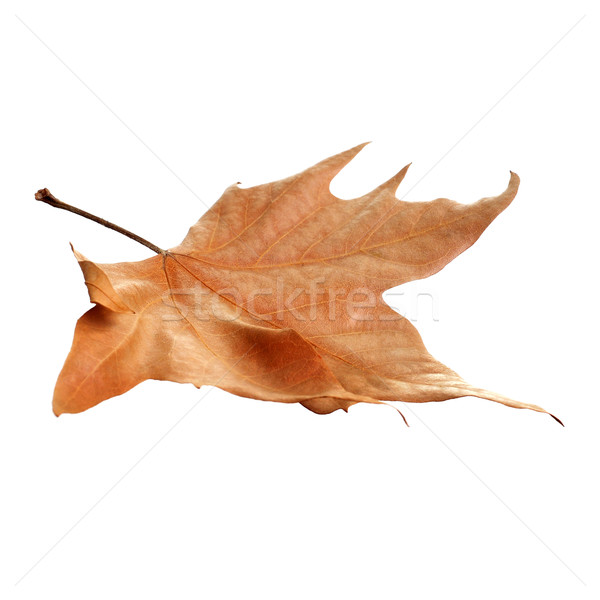 autumn leaf Stock photo © nito