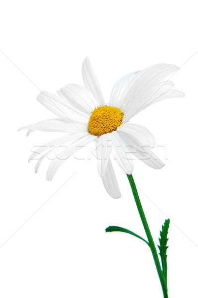 oxeye daisy Stock photo © nito