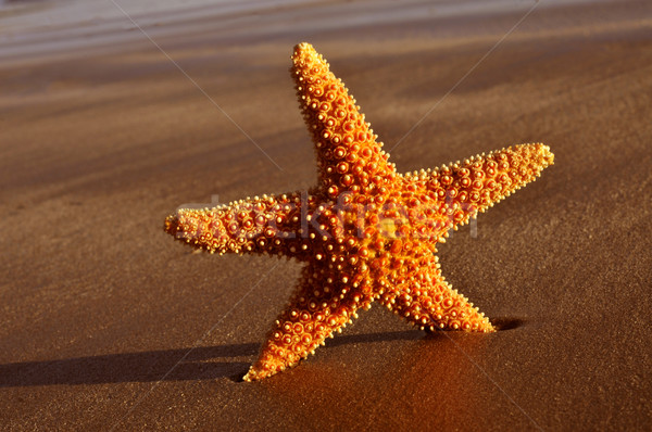 seastar on the shore of a beach Stock photo © nito