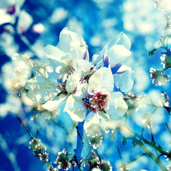double exposure of almond trees in full bloom  Stock photo © nito